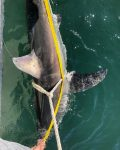 Collecting data on juvenile white shark.