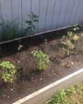 Raised Bed Vegetables